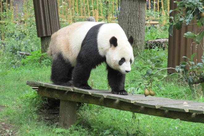 reuzenpanda (Ouwehands dierenpark Rhenen)
